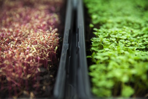 Micro greens| KitchAnn Style
